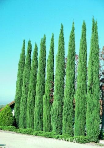 Cupressus Semp Glauca Italian Cypress Perez Nursery