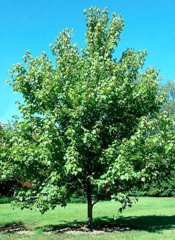 deciduous trees acer rubrum october glory brentwood. Black Bedroom Furniture Sets. Home Design Ideas