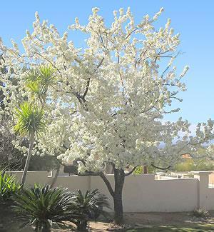 Pyrus Kawakamii Evergreen Pear Tree Perez Nursery