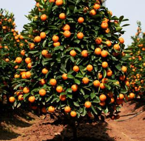 Valencia Orange Perez Nursery